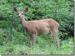 07-05-08 Deer visit the lower back pastures 010