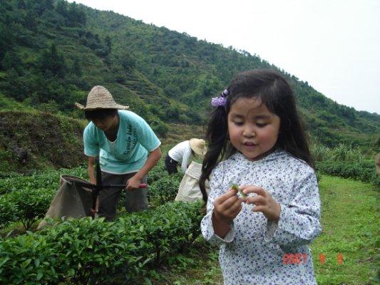 福建省お茶の葉みるマヒ