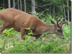 07-05-08 Deer visit the lower back pastures 003