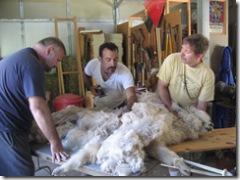 Shearing the alpacas 007