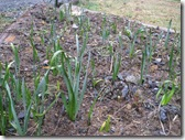 03-24-09 tulips and daffodils sprouting 003