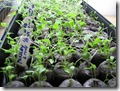 03-02-08 Garden seedlings 007