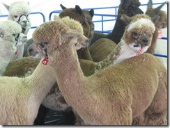 01-08-08 Alpacas for auction in Vegas 008