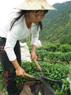 茶摘み労働女性